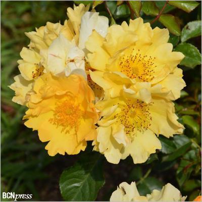 14MAYO2017 Concurso Internacional de Roses Noves. Rosa de la Gent Gran.