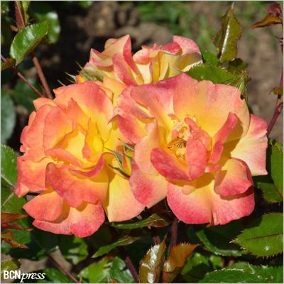 14MAYO2017 Concurso Internacional de Roses Noves. Rosa Escola Castell Foix.