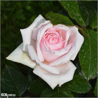 14MAYO2017 Concurso Internacional de Roses Noves.  Hídrida de té.