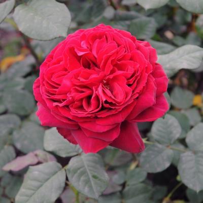 12MAYO2013 13ª Edición del Concurso Roses Noves en el Parque Cervantes. Hídrico de té y Asociación amigos de los jardines. Foto: Montse Carreño.