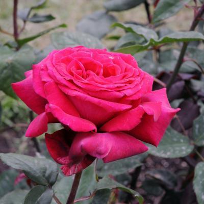 12MAYO2013 13ª Edición del Concurso Roses Noves en el Parque Cervantes. Gent Gran  y Perfumada. . Foto: Montse Carreño.
