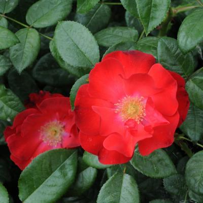 12MAYO2013 13ª Edición del Concurso Roses Noves en el Parque Cervantes. Asociación española de parques y jardines públicos. Foto: Montse Carreño.