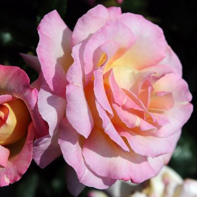 10MAYO2015 15º Concurso Internacional de Roses Nuevas de Barcelona. Rosa mejor perfume, mejor flor y más perfumada.  Foto: Montse Carreño.