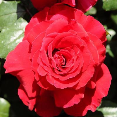 10MAYO2015 15º Concurso Internacional de Roses Nuevas de Barcelona. Rosa Ciudadana.  Foto: Montse Carreño.