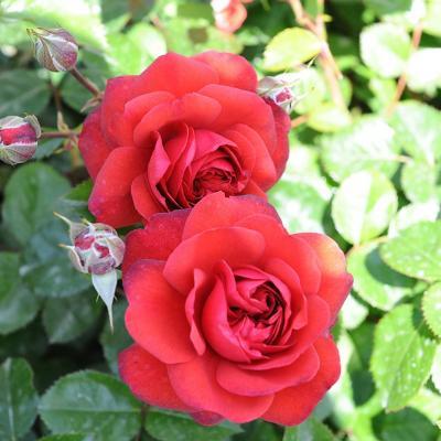 10MAYO2015 15º Concurso Internacional de Roses Nuevas de Barcelona. Rosa vigorosa. Foto: Montse Carreño.