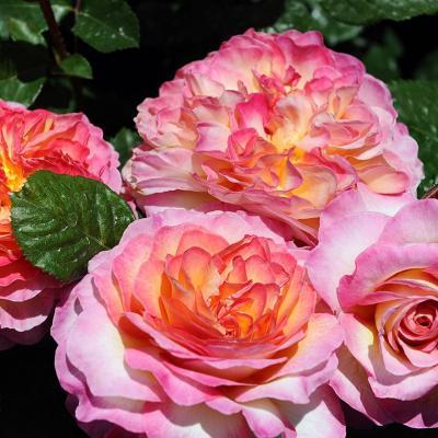 10MAYO2015 15º Concurso Internacional de Roses Nuevas de Barcelona.  Rosa más novedosa. Foto: Montse Carreño.