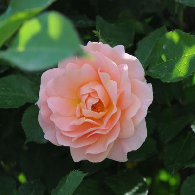 06MAYO2012 12º Concurso Internacional de Rosas Nuevas de Barcelona, en el Parque Cervantes. Foto: Montse Carreño.