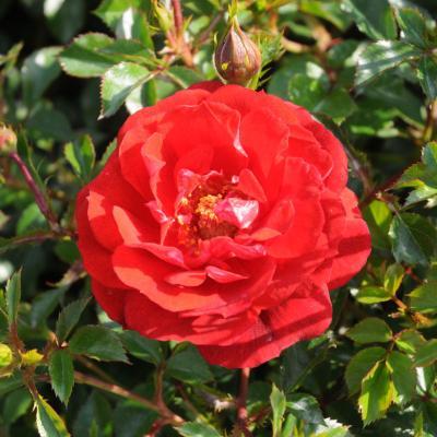06MAYO2012 12º Concurso Internacional de Rosas Nuevas de Barcelona, en el Parque Cervantes.Premio a la mejor miniatura.  Foto: Montse Carreño.