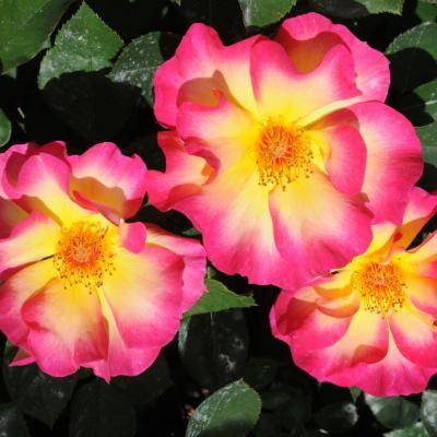 06MAYO2012 12º Concurso Internacional de Rosas Nuevas de Barcelona, en el Parque Cervantes.Premio Ciutadana.  Foto: Montse Carreño.