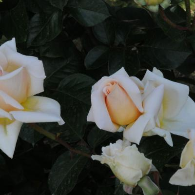 06MAYO2012 12º Concurso Internacional de Rosas Nuevas de Barcelona, en el Parque Cervantes. Premio mejor hídrido de té.Foto: Montse Carreño.