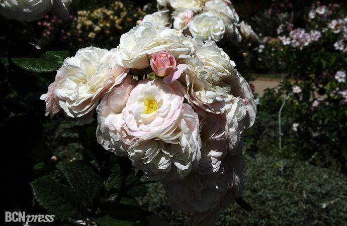 15º Concurso Internacional de Roses Nuevas de Barcelona